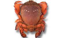 click here to read more about Spanner Crab