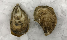 Acadian Pearl Oyster