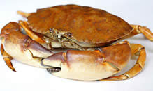 click here to read more about Florida Stone Crab