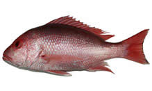 Snapper, American Red