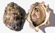 click here to read more about Oysters - West Coast - Crassostrea gigas