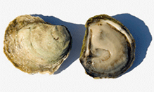 click here to read more about Oysters - East Coast - Crassostrea virginica