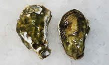 click here to read more about Oysters - Kumamoto - Crassostrea sikamea