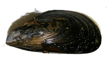 click here to read more about Mediterranean Mussel