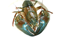 click here to read more about Signal Crawfish