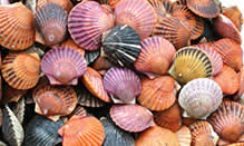 click here to read more about Live Sea Scallops