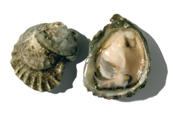 click here to read more about Oysters - Olympia - Ostrea lurida